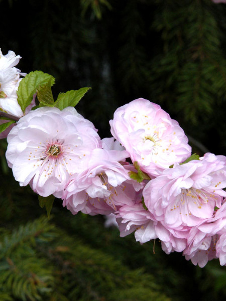 Prunus triloba, Mandelbäumchen