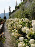 Hydrangea paniculata 'Grandiflora', Rispen-Hortensie