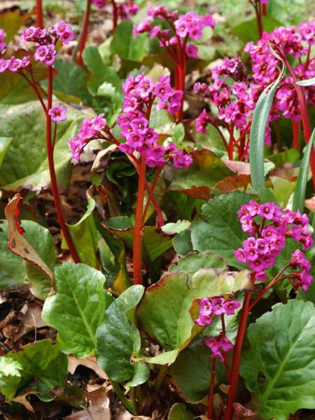 Blatt und Blüte der Bergenie 'Eroica'