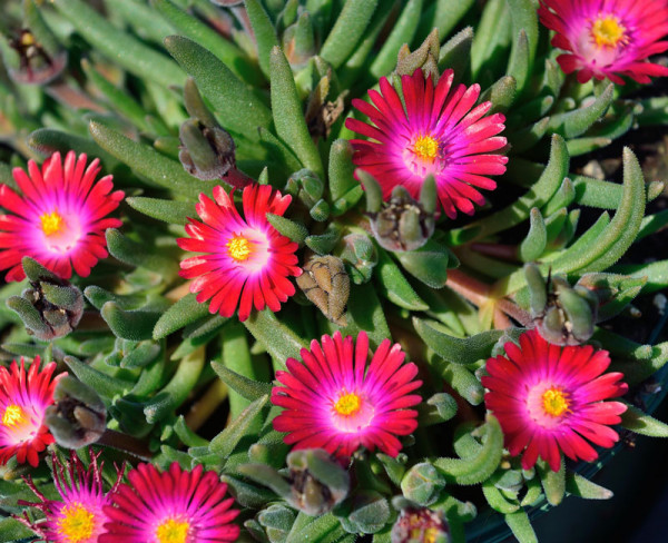 Delosperma Hybride 'Jewel of Desert Garnet', Mittagsblume