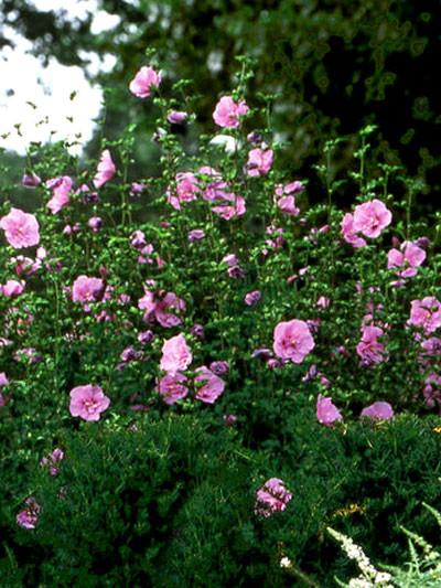Roseneibisch Lavender Chiffon Pflanze