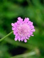 Scabiosa columbaria 'Pink Mist', Tauben-Skabiose