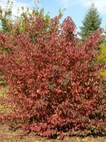 Cornus sanguinea, Roter Hartriegel