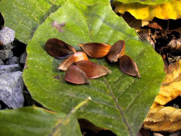 Rotbuchen Samen