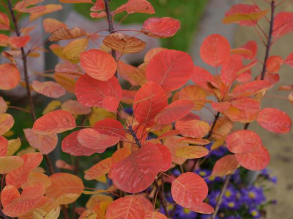 Rote Herbstfärbung des Perrückenstrauchs 'Golden Spirit'