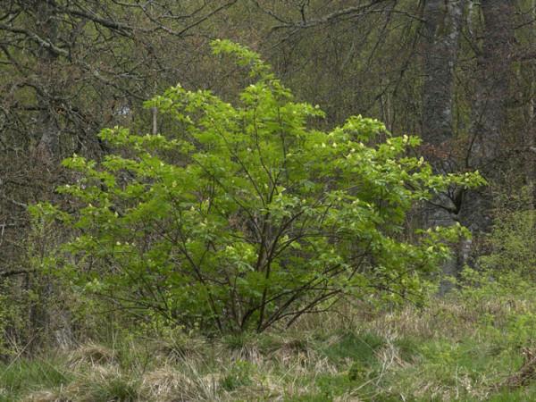 Sambucus racemosa, Traubenholunder