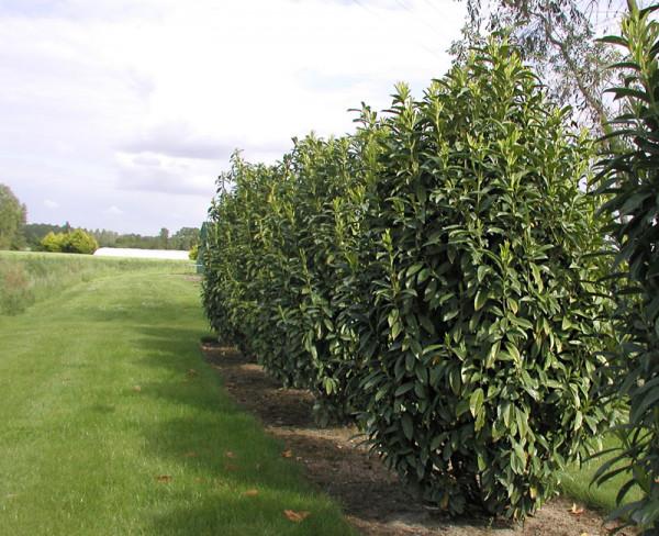 Prunus laurocerasus Genolia® 'Mariblon', Säulenförmiger Kirschlorbeer