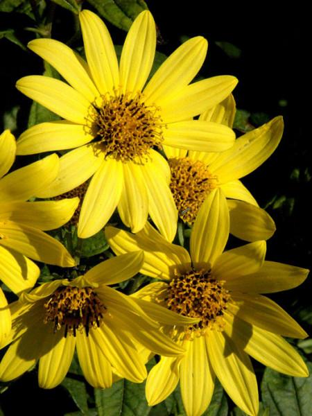 Helianthus microcephalus 'Lemon Queen', Kleinkopfige Sonnenblume