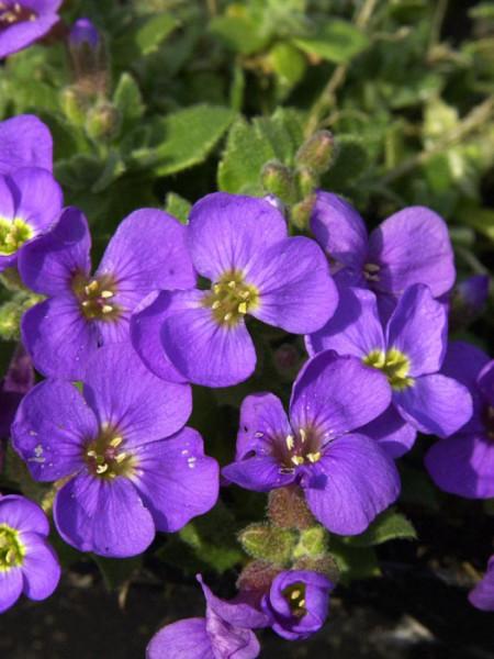 Aubrieta Hybride 'Tauricola', Blaukissen