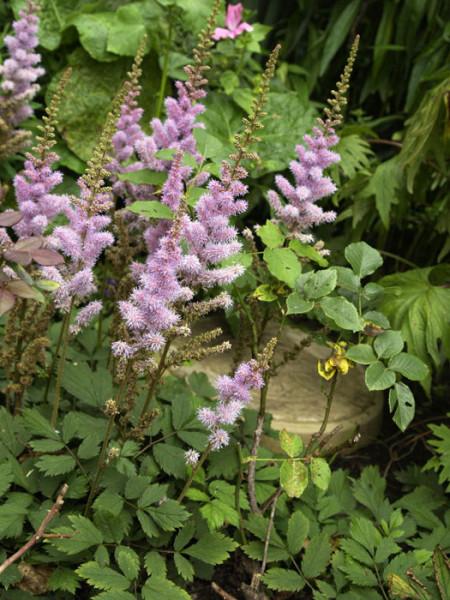 Blatt und Blüte der kleinen Prachtspiere