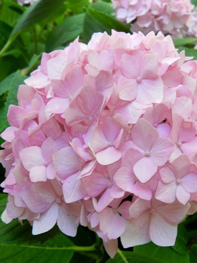 Endless Summer Rosa Blüte