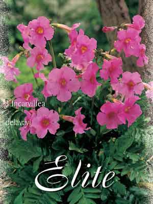Garten-Gloxinie, Incarvillea delavayi (Art.Nr. 521530)