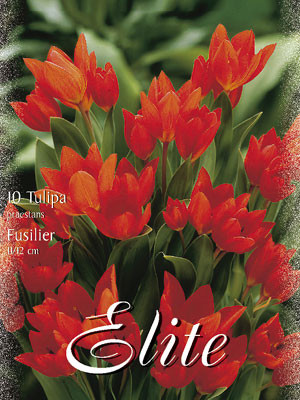 Botanische Tulpe 'Fusilier' (Art.Nr. 595670)