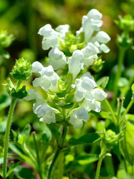 Prunella grandiflora 'Alba', Große weiße Braunelle