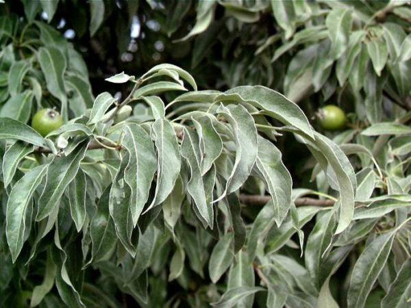 Pyrus communis, Wildbirne