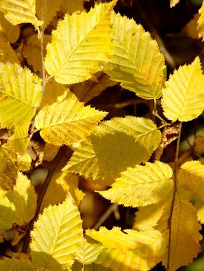 Hainbuchen Blatt mit Herbstfärbung