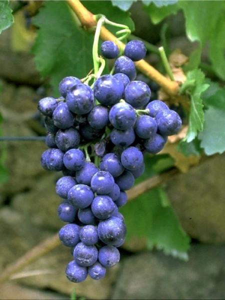 Tafel- und Weintraube Blauer Portugieser