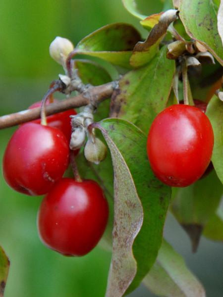 Rote Früchte der Kornelkirsche