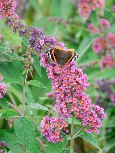 Schmetterling auf Blüte des Sommerflieders 'Flower Power'