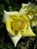 Rose Berolina ® - Kordes