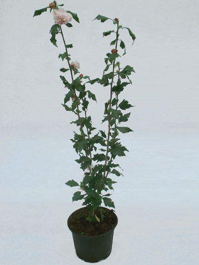 Garteneibisch als Topfpflanze für den Verkauf