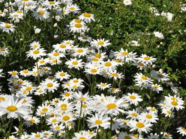 Leucanthemum x superbum 'Gruppenstolz', Sommer-Margerite