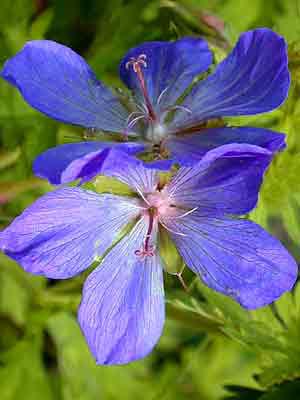 Die Blüte des Wiesenstorchschnabels 'Johnson's Blue'