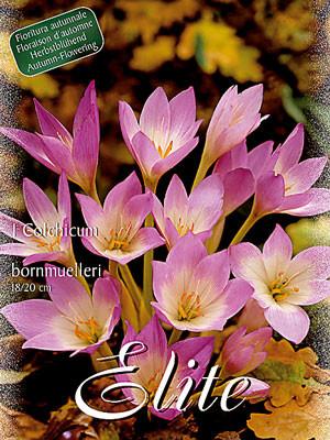 Herbstzeitlose 'Bornmuelleri', Colchicum (Art.Nr. 596564)