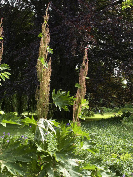 Rheum palmatum var. tanguticum, Zier-Rhabarber, Kron-Rhabarber