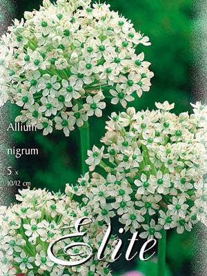 Allium nigrum (Art.Nr. 596326)