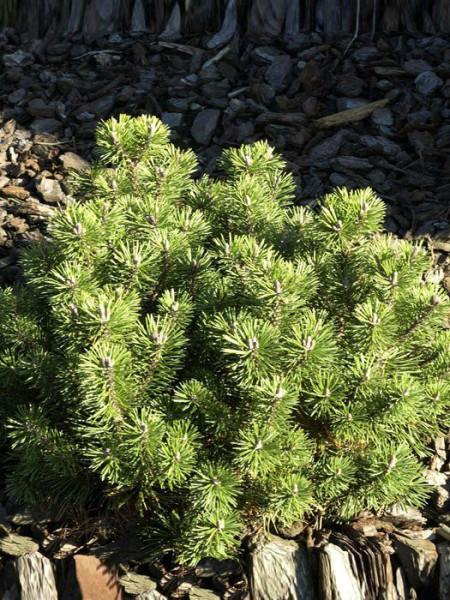 Kugel-Kiefer Mops als Solitärpflanze im Garten