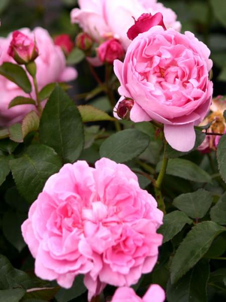 Blüte der Rose Mary Rose