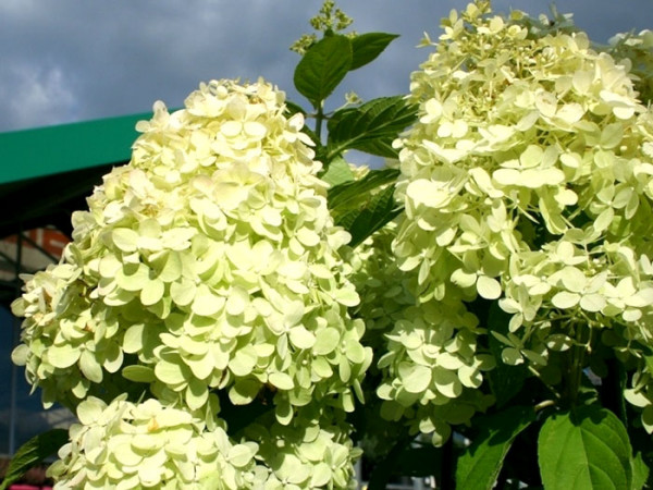 Hortensie Limelight Pflanze