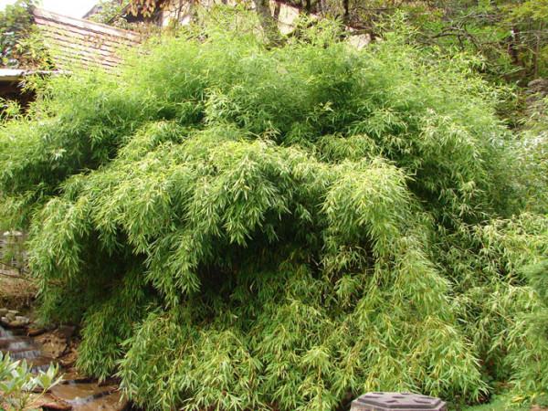 Phyllostachys humilis, Bronze-Bambus