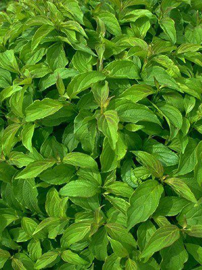 Vielzahl an Blättern des Zwerg-Hartriegels