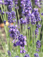 Lavandula angustifolia 'Hidcote Blue', Garten-Lavendel