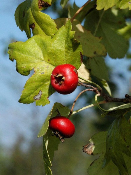 Frucht des echten Rotdorns