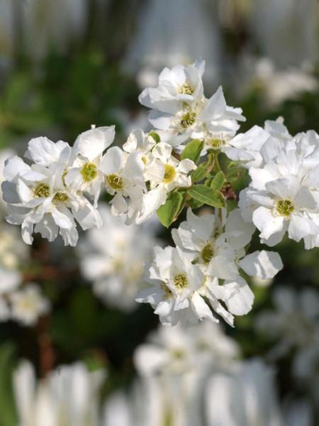 Blüte der Prunkspiere