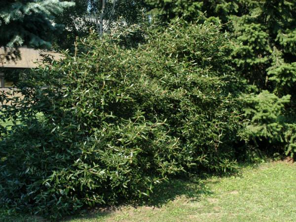 Viburnum 'Pragense', Prager Schneeball