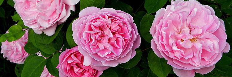 englische-rosen