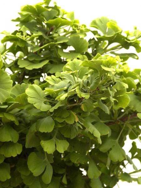 Blattwerk des Zwerg-Fächerblattbaums
