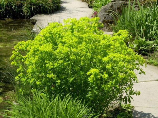 Euphorbia palustris, Sumpfwolfsmilch