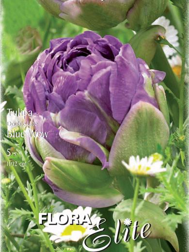 Gefüllte späte Tulpe 'Blue Wow' (Art.Nr. 595151)