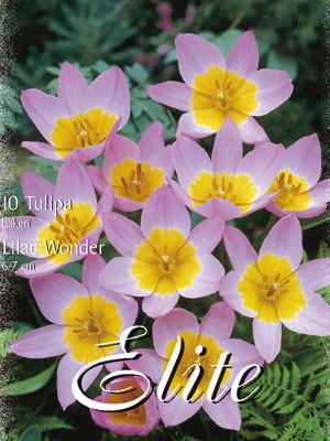 Botanische Tulpe 'Lilac Wonder' (Art.Nr. 595650)