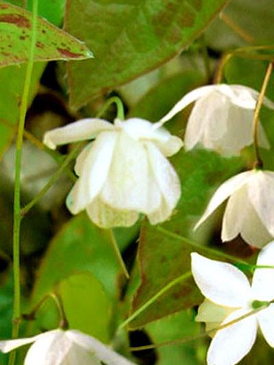 Die Elfenblume mit glockenähnlichen, weißen Blüten