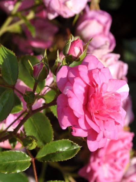 Blüte der Rose Jasmina