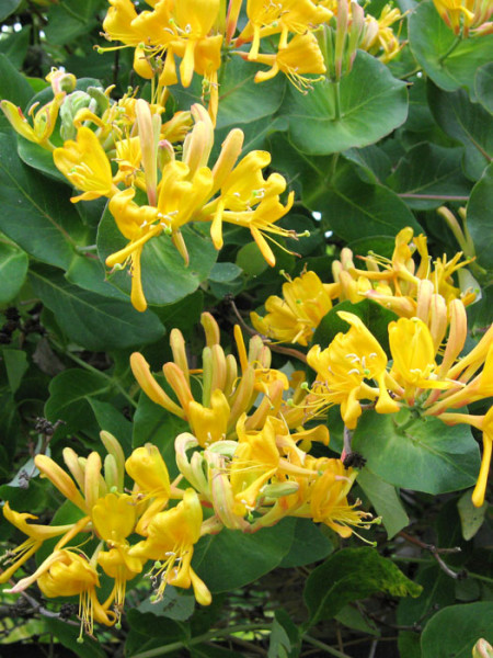 Blatt und Blüte des Gold-Geißblatts