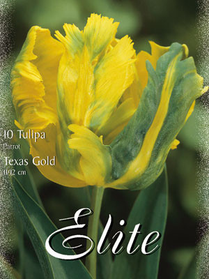 Papagei-Tulpe 'Texas Gold' (Art.Nr. 595578)