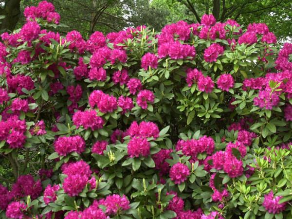 Rhododendron 'Mrs. P. den Ouden'