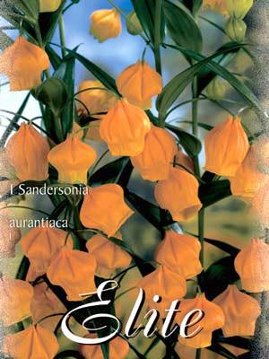 Goldglöckchen, Sandersonia aurantiaca (Art.Nr. 522010)